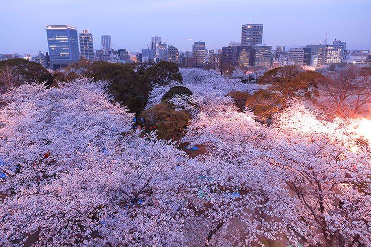 La más hermosas fotos de flores de cerezo japoneses - 2014