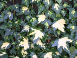 Gold-Efeu / Gelbbunter Efeu 'Goldheart' [Kletterpflanzen] > immergrün, Blattschmuck, anspruchslos