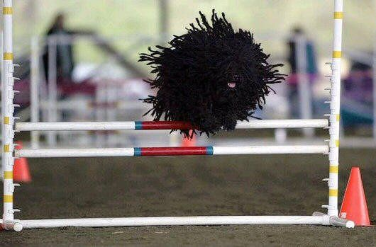 This one looks like someone put a stick of dynamite into a spool of yarn. It's called a Puli. How does one groom this fellow?