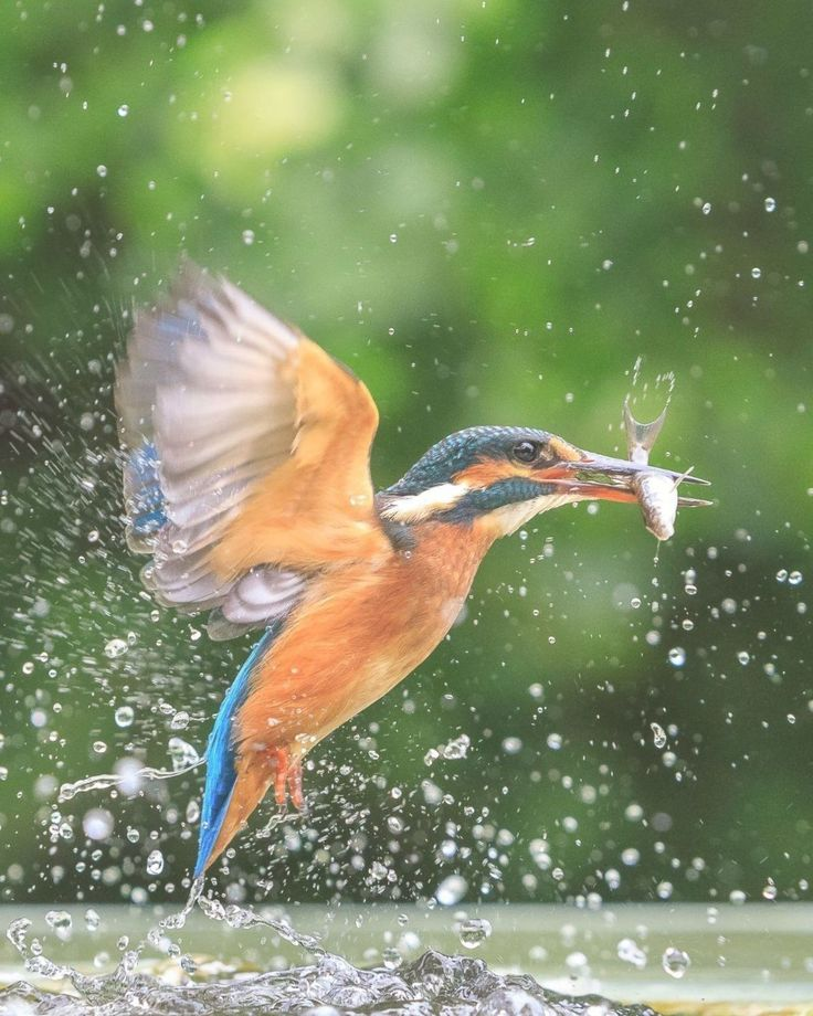 Stunning Capture of Kingfisher Catching a Fish Behind