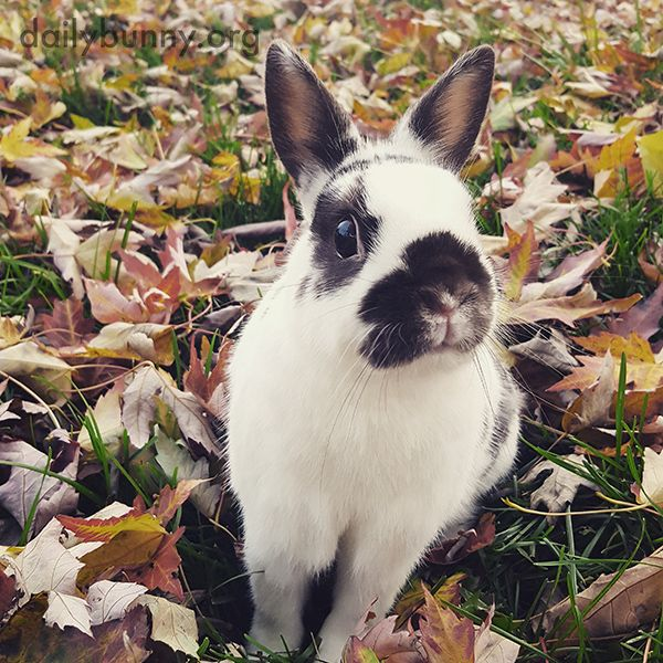 Bunny sits among all those crunchy leaves - November 15, 2016