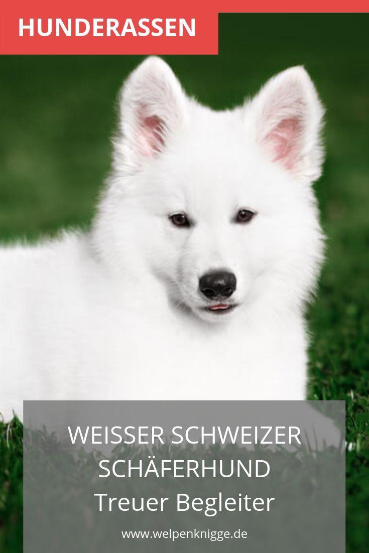 Weisser Schweizer Schaferhundwelpe Welpenrassen Hunde Rassen