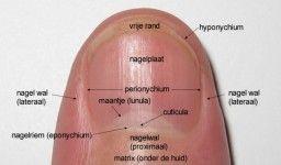 Anatomie van de nagel (klik op foto voor vergroting)