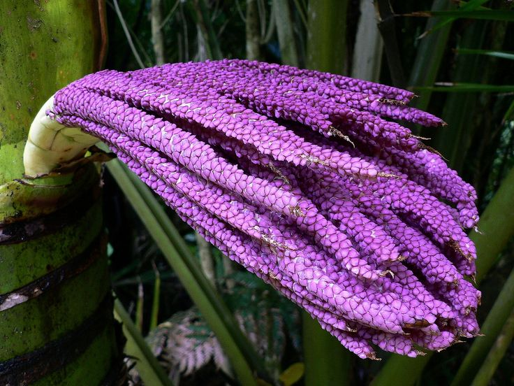 Nikau-Palm [Rhopalostylis sapida] Inflorescence from Punakaiki, New Zealand - Flickr - Photo Sharing!