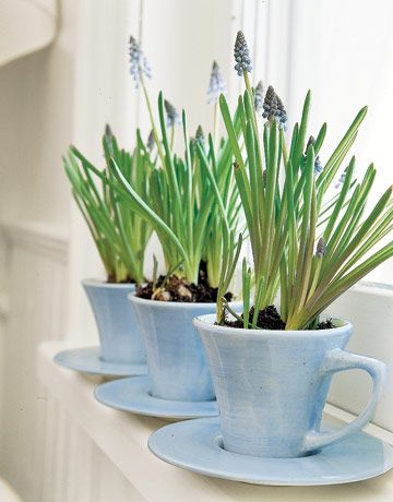 imagine aluminium cups  planted lavender in cups and saucers.