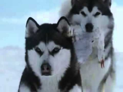 """MUSIC VIDEO: Enigma-Era-Gregorian - Moment Of Peace. These are not Wolves but Husky Dogs, and the clips are from the film """"Eight Below""""."""