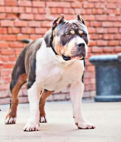 American Bully Tri color,if I owned this dog I'd call him ...