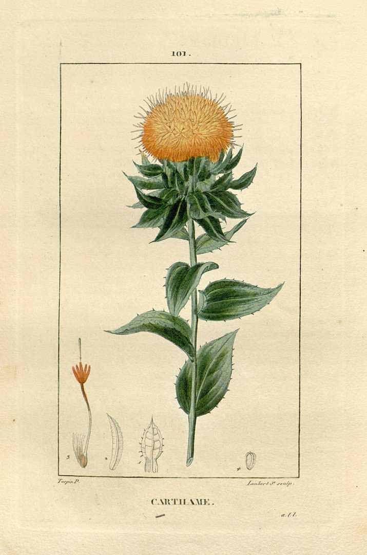75823 Carthamus tinctorius L. / Chaumeton, F.P., Flore médicale, vol. 2: t. 101 (1829)