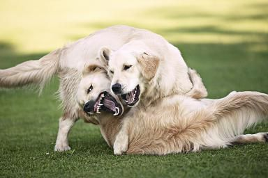 Golden retrievers playing - Christoph Rosenberger/Photolibrary/Getty Images