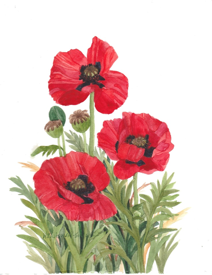 Red Poppies Original Watercolor by wandazuchowskischick on Etsy