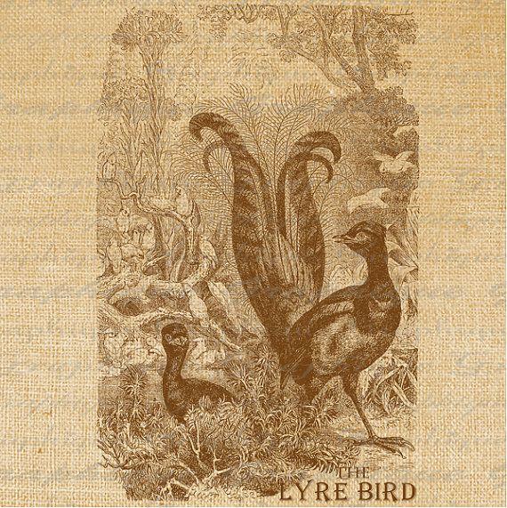 lyrebird.