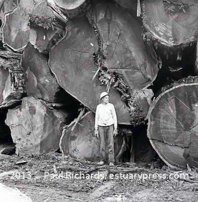 The Last of Giant Logs Come Down 1969, Humboldt County, CA. Lumber mill employee standing in front of a stack (cold deck) of giant redwood logs.