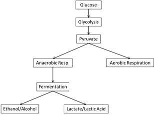 Anaerobic Respiration cycle