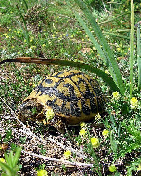 La tortue d'Hermann est la seule tortue terrestre vivant en France. © Orchi, Wikipédia, GNU 1.2