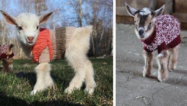 Kazak Giydirilmiş Sevimli Keçi Yavruları