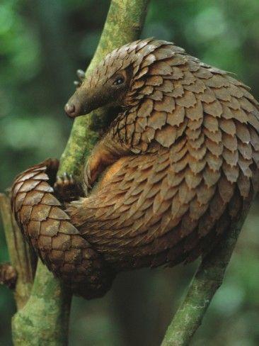 Pangolin Climbing a Tree by George Steinmetz