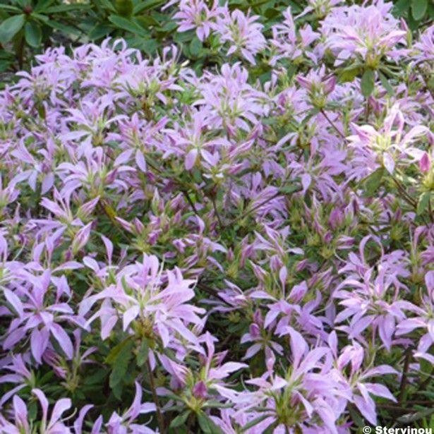 Les 25 Meilleures Idées De La Catégorie Plante De Rhododendron Sur