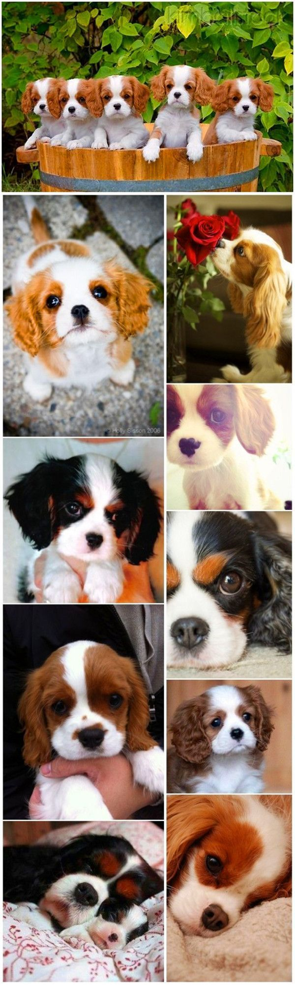 Cute small dog breeds 2 Cavalier King Charles Spaniel with puppies #dogbreeds