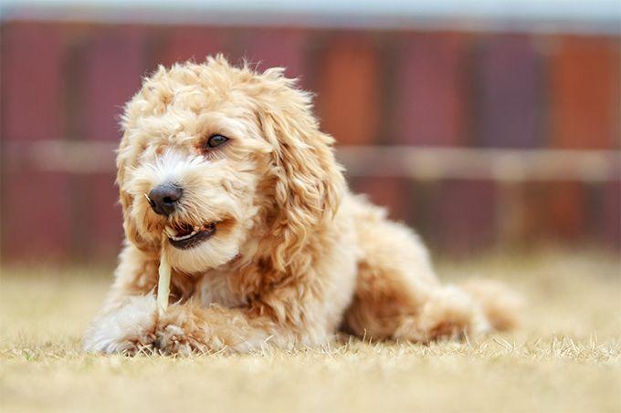 Tiernos Maltipoo En Imágenes Lindo y mimoso, el Maltipoo es un perro híbrido afectuoso de la raza (caniche purasangre y mezcla maltesa). Él es generalmente amistoso y saliente, creyendo que cada u…