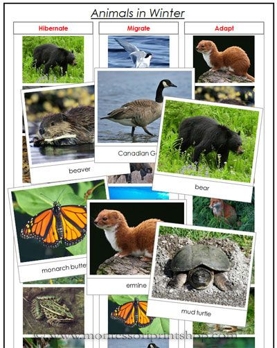 Animals in Winter - Printable Montessori Animal and Science Materials for Montessori Learning at home and school.
