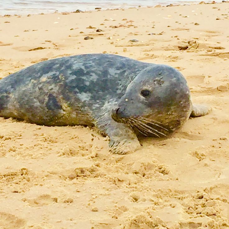 This lovely seal followed my daughter out of the sea and along the beach and then posed for photos, funny thing just showing off for attention!!