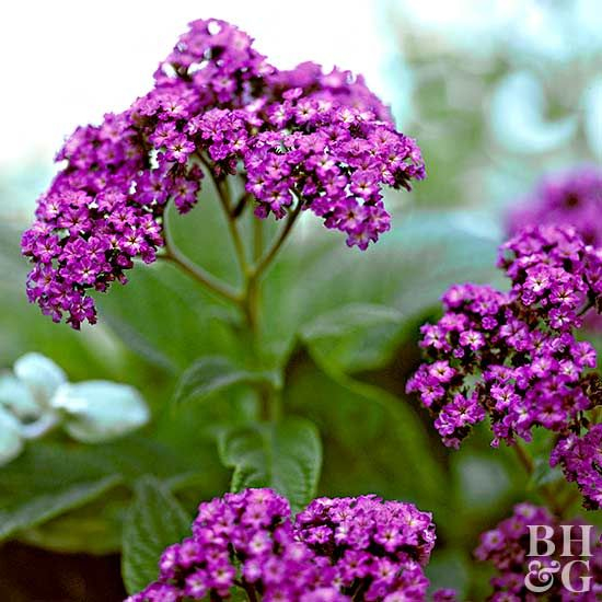 Fill your landscape with wonderfully fragrant flowers such as gardenia, sweet peas, lilacs, and more to your garden. Our favorite fragrant flowers will add beautiful scents to your yard or create a bouquet to perfume your house. #gardening #flowers #fragrantplants
