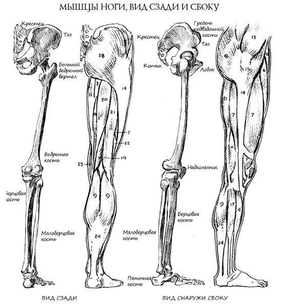 анатомия ног (2)