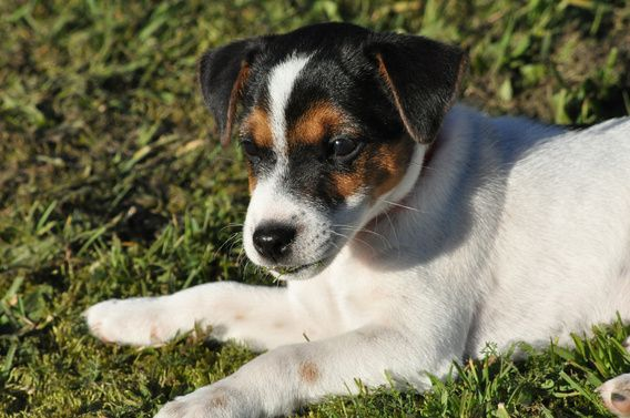 Nieuw in mijn Werk aan de Muur shop: Jack Russell Terrier in late zon