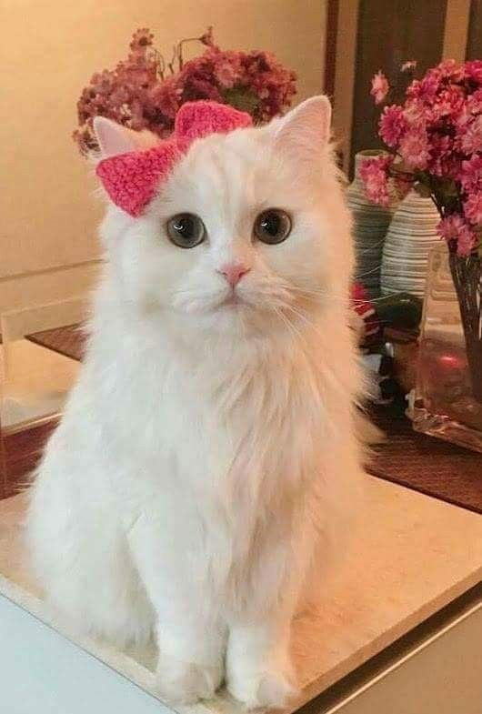 Cute white cat with pink bow tie on right ear.