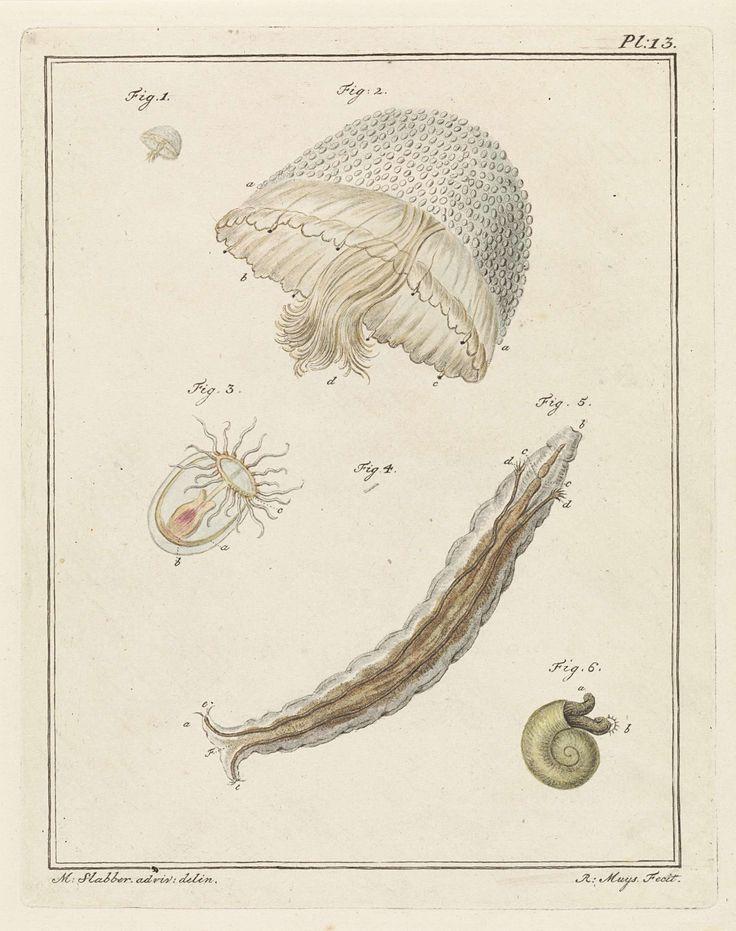 Robbert Muys | Verschillende zeedieren, Robbert Muys, 1778 | Zeedieren. Figuur 1 en 2 tonen een parelkwal op ware grootte en uitvergroot. Figuur 3 toont een poliepkwalletje. Figuur 4 en 5 tonen een borstelworm op ware grootte en uitvergroot. Figuur 6 toont een larve van een zeeslak. Rechtsboven: Pl. 13. Prent uit een boek over binnen- en buitenlandse land- en waterdieren.