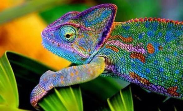 El camaleón pantera es uno de los animales más coloridos.