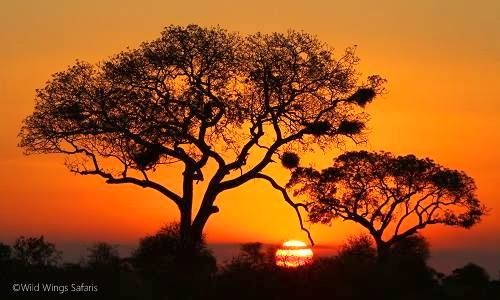 Double tree sunset ... are we spoit for beauty on an #African #Safari?