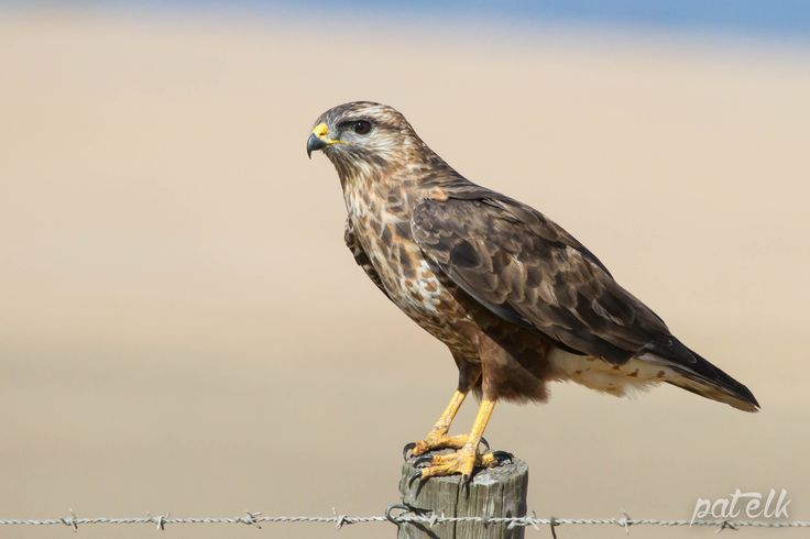 Steppe Buzzard. Mottled brown and russet colour variation.