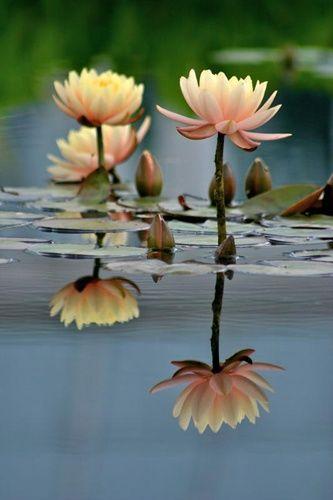 Lily Pads & Tall Lotus - Peach
