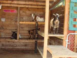 I build my goat sheds big enough to stand in.  My goats are short.  Doing something like this would maximize the goats' use of the tall space.  Great idea!  I'd add edges to each shelf and bedding on the shelves.