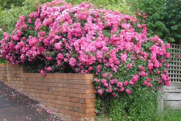 Flower Carpet Pink planted many years ago.  The original easy-care 'eco rose'.