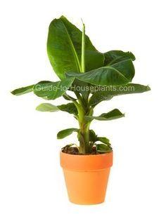 Growing Banana Plants Indoors: How to Grow Dwarf Banana Plants
