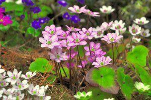 Przylaszczka. Zachwycający maleńki kwiat leśny i ogrodowy