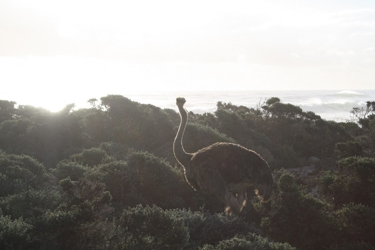 An ostrich walking around Cape Point #capetown #southafrica