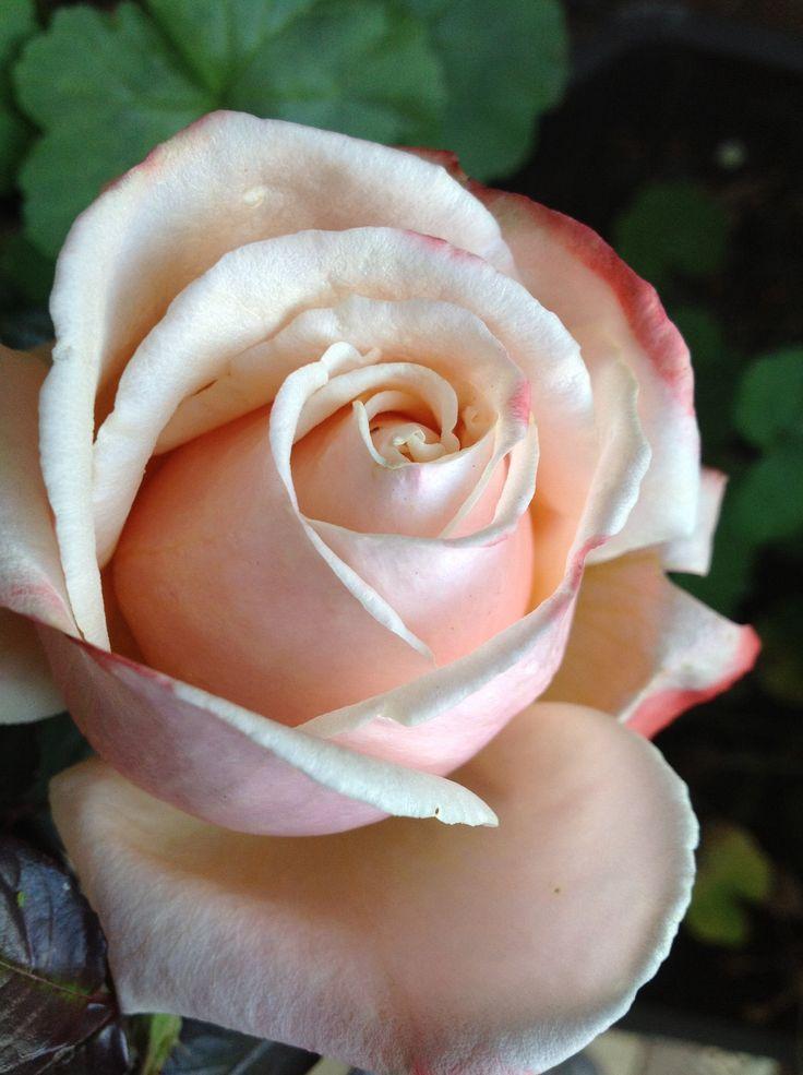 ROSES: Germania Africana - Ludwig Roses
