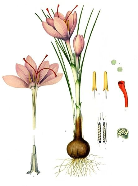 Helpful Herbs: Saffron -- An expensive and lavish spice, Saffron can actually be grown in your backyard. Hardy in zones 6-9, this special spice can be cultivated in a greenhouse farther north. The spice Saffron is harvested from the Saffron Crocus plant, a delicate bulb that sprouts purple flowers in the late fall. The...