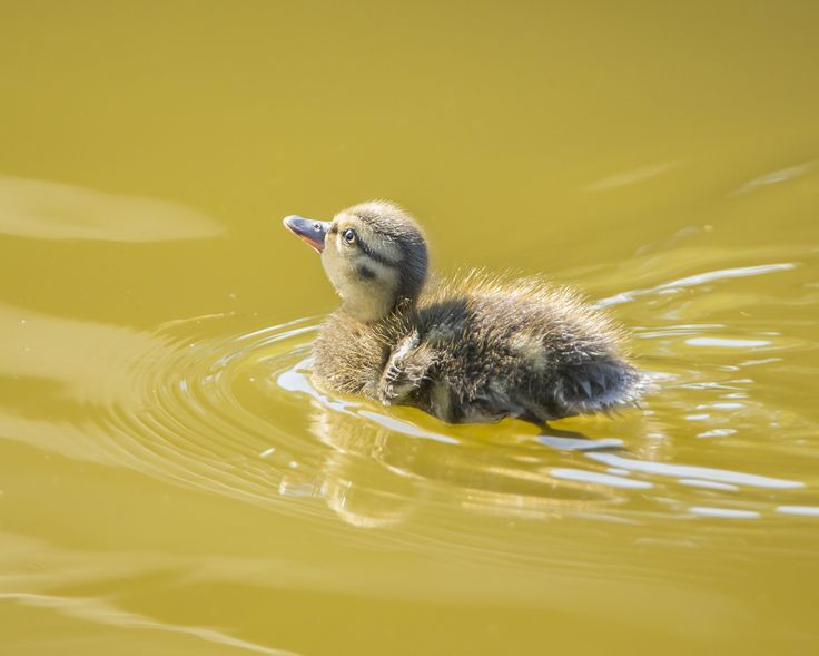 Duckling - null