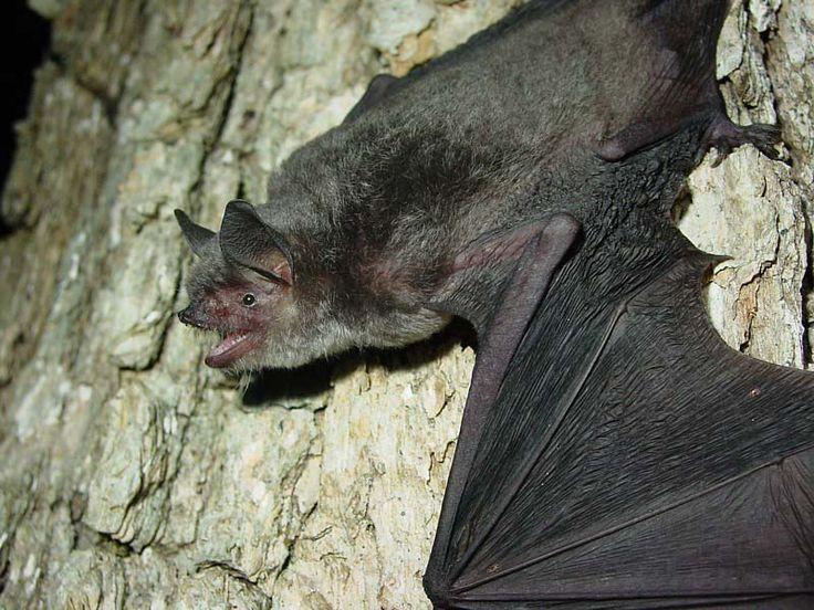 The Endangered Gray Bat Prepares For Winter