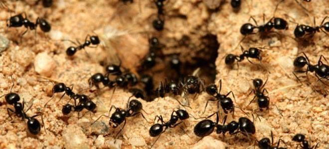 #DatoCurioso Las #Hormigas pueden ayudar a disminuir el calentamiento global. EL geólogo Ronald I. Dorn de la Universidad de California descubrió que las hormigas al transformar algunos minerales de la tierra en carbonato de calcio mejor conocido como piedra caliza eliminan una pequeña cantidad de dióxido de carbono de la atmósfera. Este proceso actúa como un pequeño refrigerador para el Planeta, lo que ayuda a mitigar el cambio climático.