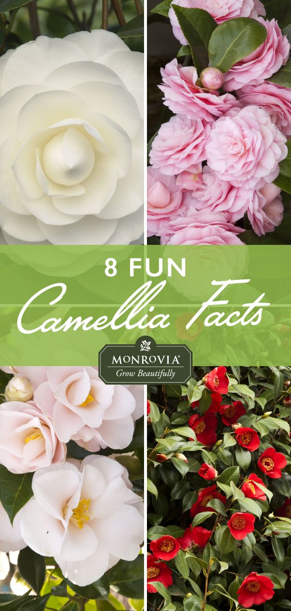 Camellia Season Is Finally Here And We Re Celebrating With These Fun Facts Container Flowers Pretty Flowers Trees To Plant