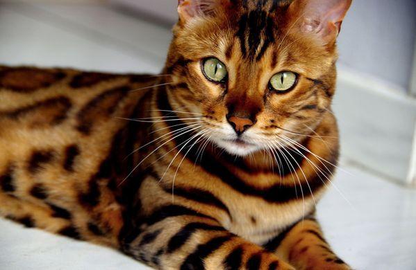 Chat leopard race