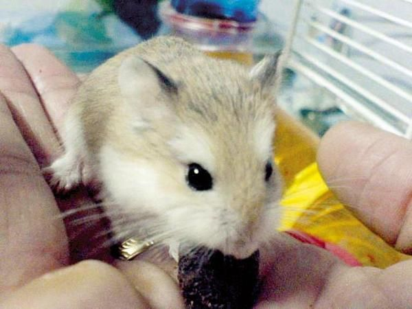 Stop your Roborovski hamster from biting you #pets #hamsters