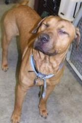 Kindle is an adoptable Hound Dog at Last Chance Ranch Animal Rescue in Quakertown, PA. 215.538.2510. Kindle is a mix breed of probably several breeds, including lab, terrier, hound and more. He is friendly and happy to hang out or play. He is just a...