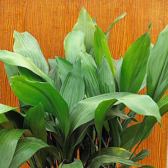Cast-Iron Plant - One of the toughest you can grow, withstands neglect, low light, low humidity, and a wide range of temps. It grows quite slowly. Several varieties have white or yellow variegation on their leaves. Why We Love It: This plant really lives up to its name: It's nearly indestructible. Name: Aspidistra elatior Growing Conditions: Low light; 45-85 degrees; keep evenly moist during active growth, barely moist in fall & winter Size: To 2 feet tall and wide