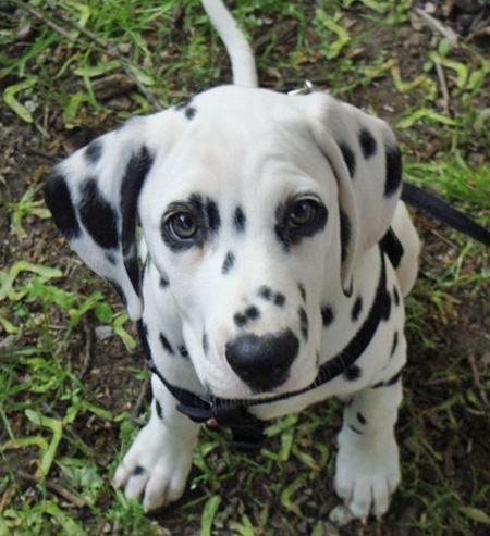 Cool Dalmation Chubby Adorable Dog - 532b848148fd42b6f9be9ab2b2b7787a--green-eyes-dalmatian-puppies  Picture_386739  .jpg